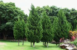 Pine trees in garden . Pine trees in garden royalty free stock photography