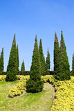 Pine trees in the garden. stock photography