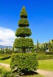 Pine trees in the garden. Royalty Free Stock Photos