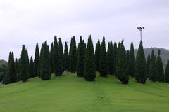 Pine trees. In garden at Chiang Mai, Thailand Stock Photo