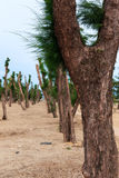 Pine trees in the garden was pruned Royalty Free Stock Photos