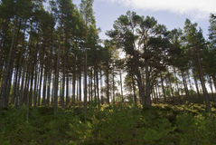 Pine trees in Glenmore Forest Scotland Royalty Free Stock Photos