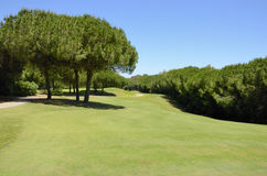 Pine trees in golf course Stock Image