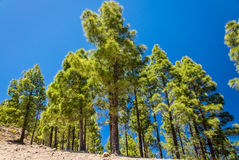 Pine trees in Gran Canaria Stock Photography
