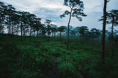 Pine trees in grass field. At evening time under rain clouds Stock Image