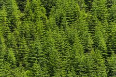 Pine trees green alpine woods, forest pattern background. Stock Photo