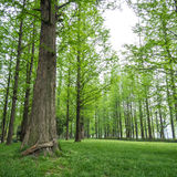 Pine trees in a green field Stock Photo