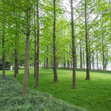 Pine trees in a green field Royalty Free Stock Images