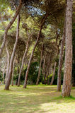 Pine trees in green garden Stock Images
