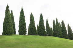 Pine trees with green grass in the garden Royalty Free Stock Image
