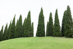 Pine trees with green grass in the garden Stock Photos