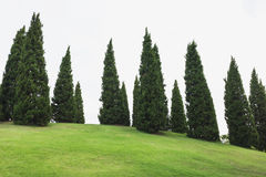 Pine trees with green grass in the garden Stock Photography