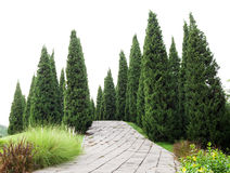 Pine trees with green grass in the garden Royalty Free Stock Photo