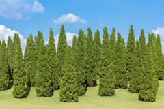 Pine trees and green grass in the garden on blue sky background. Stock Images