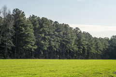 Pine Trees in a green grassy field Royalty Free Stock Photo