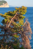 Pine trees grow on the coast of Adriatic Sea Royalty Free Stock Photography