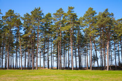 Pine trees grow on the coast of the Baltic Sea. Estonia, Narva Royalty Free Stock Image