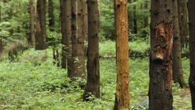 Pine trees grow in line stock video