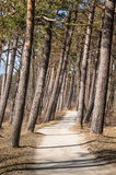 Pine trees growing on the coast of Baltic Sea Royalty Free Stock Image
