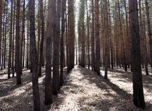 Pine trees growing in the forest in a row royalty free stock image