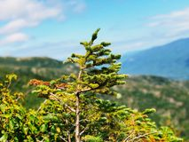 Free Pine Trees Growing On The Mt. Washington Stock Images - 138854924