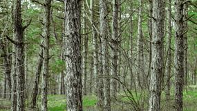 Pine trees growing in a park. Countryside landscape stock images