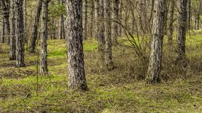 Pine trees growing in a park. Countryside landscape royalty free stock photos