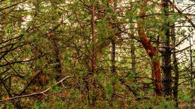 Pine trees growing in a park. Countryside landscape stock image