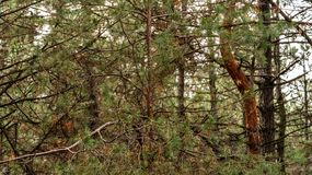 Pine trees growing in a park. Countryside landscape royalty free stock images