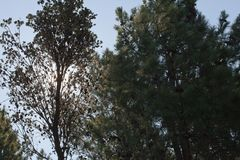 Pine trees growing in a plantation Royalty Free Stock Photography