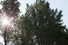 Pine trees growing in a plantation Stock Photo