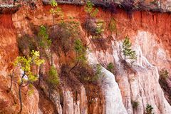 Pine trees growing on the side of a cliff at Providence Canyon State Park in Lumpkin Georgia USA. This park is also known as stock photo