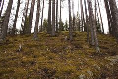 Pine trees growing on steep slope in forest royalty free stock photos