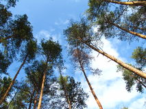 Pine trees growing up on blue sky and clouds background. View bottom to top Royalty Free Stock Photography