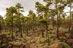 Pine trees growing at a volcanic landscape in the Teide National Stock Photos