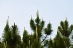 Pine trees grows up to the bluesky Royalty Free Stock Photo