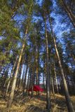 Pine trees and hammock with tent in spring wood Stock Photo