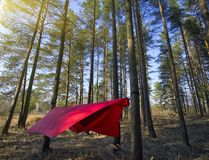 Pine trees and hammock with tent in spring wood Royalty Free Stock Image