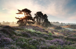 Pine trees and heather flowers at sunrise. Pine trees and heather flowers at misty sunrise Royalty Free Stock Photo