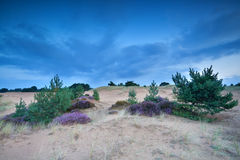 Pine trees and heather on sand dunes. In dusk Royalty Free Stock Photos
