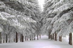 Pine trees at heavy snow Royalty Free Stock Photos