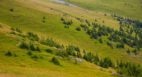 Pine trees at high altitude Stock Image