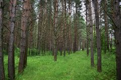 The pine trees are so high that even with a strong wind the forest is quiet and peaceful. The prayerful silence of the forest is broken here and there by a dry royalty free stock photos