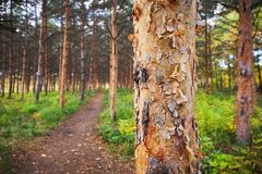 Pine trees and a hiking Path in the forest Royalty Free Stock Image