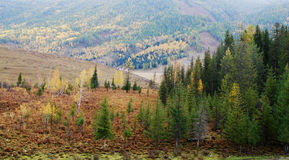 Pine trees on a hill. With yellow and green ground Royalty Free Stock Photos