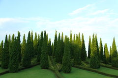 Pine trees in the hill park Royalty Free Stock Image