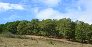 Pine trees on the hill at sunny day in Dalat, Vietnam Stock Photography