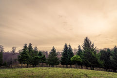 Pine trees on a hillside in the sunset Stock Photography