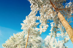 Pine trees with hoarfrost in winter forest against the blue sky Stock Photo