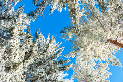 Pine trees with hoarfrost in winter forest Stock Image